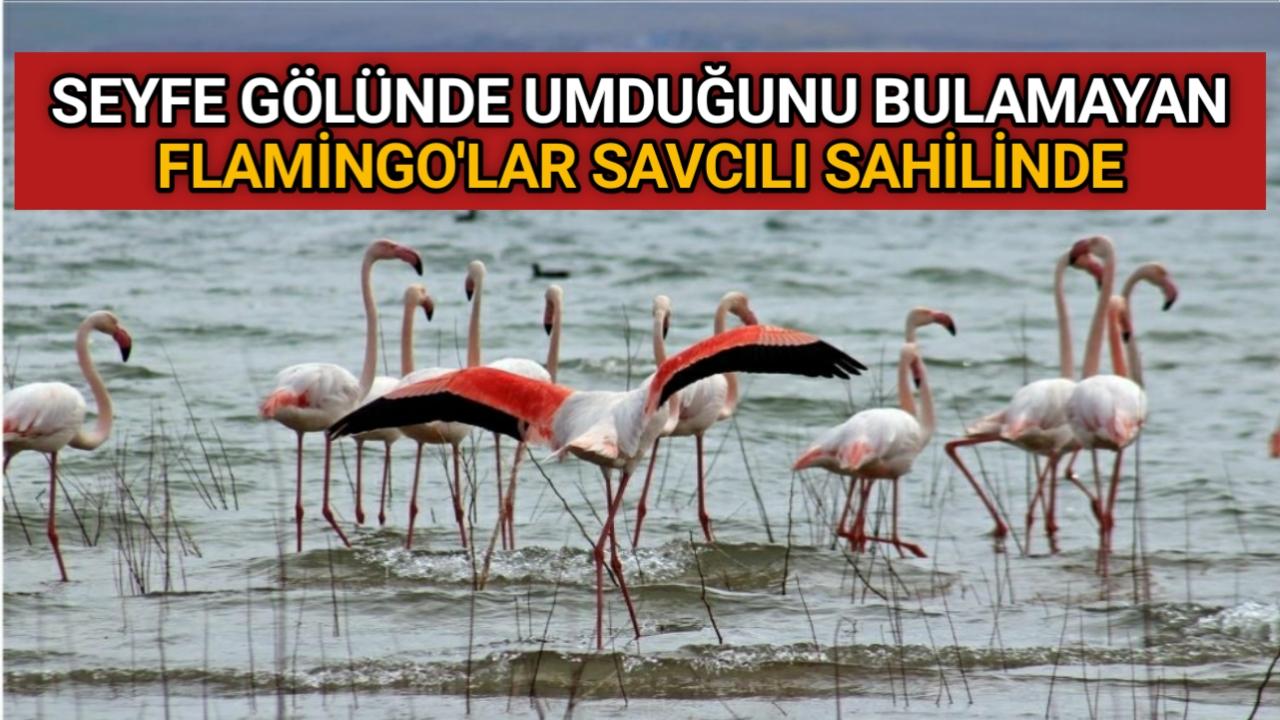 SEYFE'DEN VAZGEÇEN FLAMİNGO'LAR SAVCILI SAHİLİNDE