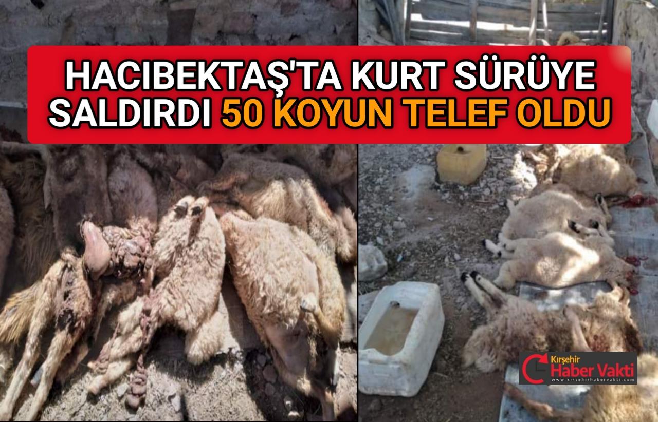 HACIBEKTAŞ'TA KURT'LAR 50 KOYUNU TELEF ETTİ